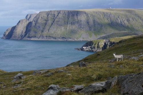 Renifer na tle urwiska Nordkappu